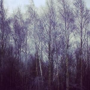 lavender trees